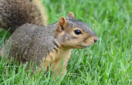 curiously: Squirrel looking curiously to the right Stock Photo
