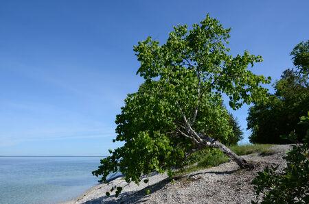 mackinac: Aspen tree in Mackinac Island Stock Photo