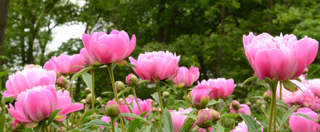 Collection of Suzette peonies on green background