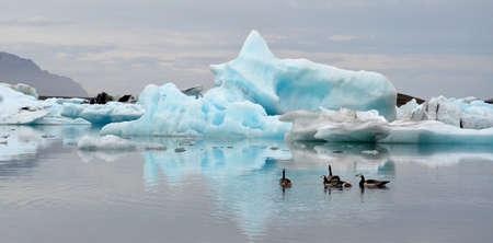 calved: Geese swim paskt icebergs on Jokulsarlon, Iceland on June 18, 2015. The icebergs calved from the nearby Vatnajokull glacier. Stock Photo