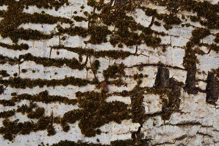 trunk of perennial birch overgrown with moss