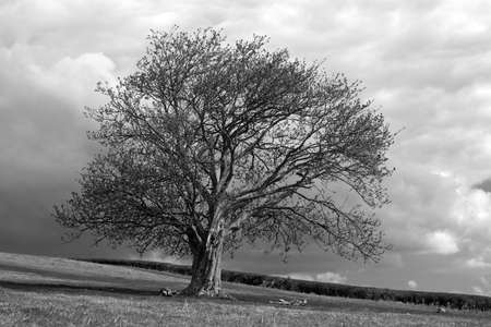 nature photography: Oak Tree and Stormy Sky Stock Photo