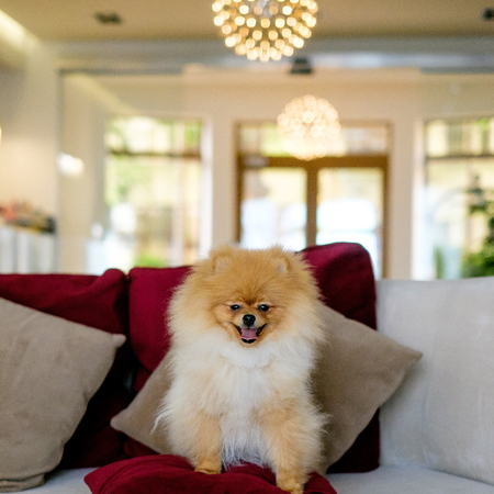 Adult Orange Pomeranian Spitz is sitting on a red couch