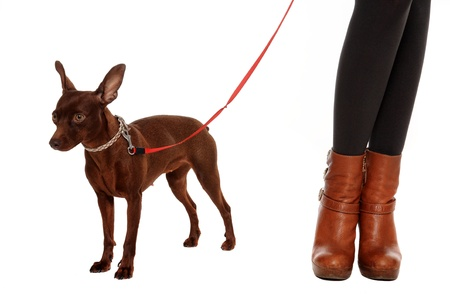 small pinscher portrait isolated on a white background photo
