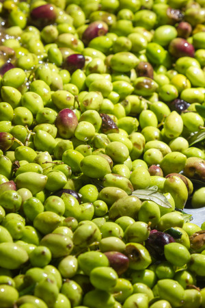 olives into small scale olive oil mill factory for extracting extra virgin olive oil Stock Photo
