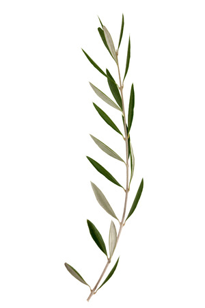 small branch of olive tree isolated on a white