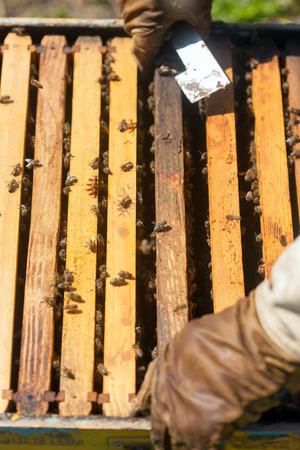 colmena: Granjero con fumador abeja comprobaci�n de una colmena con abejas Foto de archivo