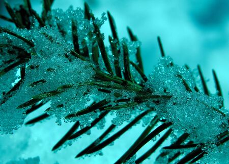 Frost on a fir branch photo
