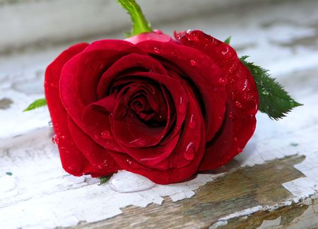Red rose with drops of water on the petals, situated on an old window frame photo