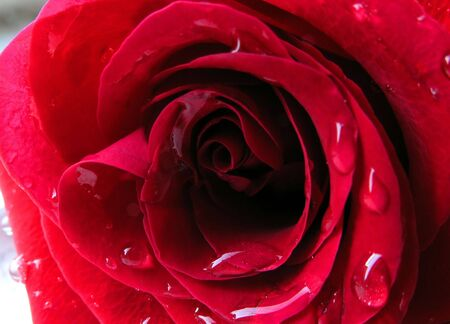 Red rose with drops of water on the petals photo