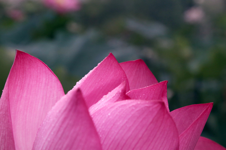 A pink  lotus Stock Photo