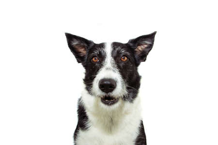 Attentive and clever border collie dog looking at camera. Isolated on white background.