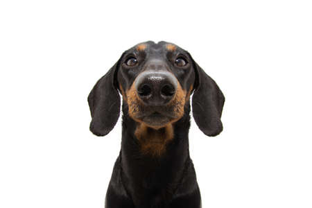 Close-up serious dachshund puppy dog. Isolated on white background.