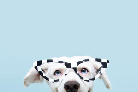 Close up funny dog hide wearing glasses celebrating halloween or carnival. Happy expression. Isolated on blue background.