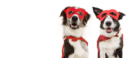 banner two super hero dogs puppy costume celebrating carnival or halloween wearing a red mask and cape. Isolated on white background. Banco de Imagens
