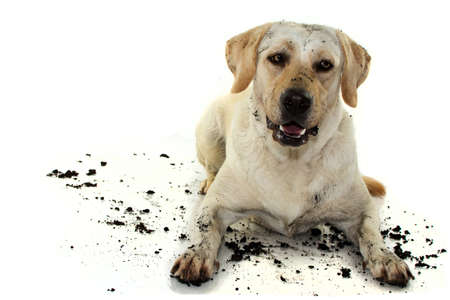 DIRTY MIXEDBRED GOLDEN OR LABRADOR RETRIEVER AND MASTIFF DOG, AFTER PLAY IN A MUD PUDDLE, MAKING A FUNNY FACE. ISOLATED AGAINST WHITE BACKGROUND. STUDIO SHOT WITH COPY SPACE. Stock Photo