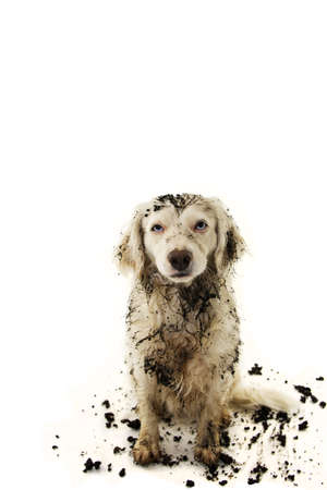 DIRTY DOG AFTER PLAY IN A MUD PUDDLE. ISOLATED STUDIO SHOT ON WHITE BACKGROUND.