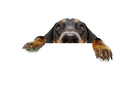 Close-up hide black dachshund dog looking and hanging paws over a blank sign with room for text. Isolated on white background.