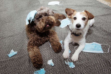 Two puppy dogs caught red-handed after destroy and bite some protective face masks with guilty expression.