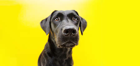Portrait serious black labrador retriever. Isolated on yellow background.