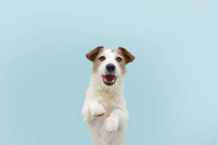 Funny happy jack russell dog standing two legs. Isolated on blue colored background.