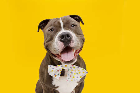 Happy American bully dog wearing a multicolored bow tie. . Isolated on yellow background.