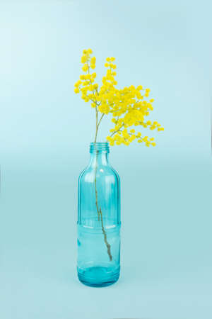 Fresh flowers in bottle, Glass bottle is reused to decorate with yellow mimosas. Isolated on blue background