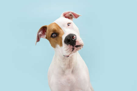 Curious thinking American Staffordshire dog tilting head side. Isolated on blue background