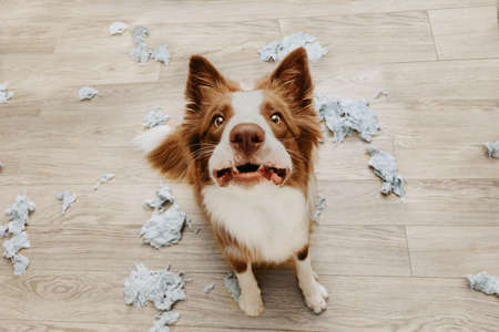 Border collie dog destroying a pillow on living romm with guilty expression. separation anxiety disorder concept Imagens