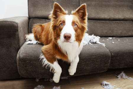 Border collie mischief after destroy a pillow sitting over a sofa with innocent expression Banco de Imagens