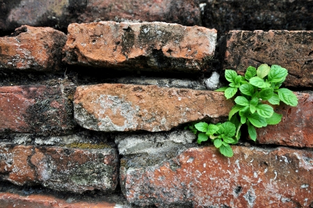 cell growth: green leaf texture on red brick wall