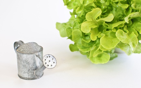 Green oak leaf lettuce with tin watering can isolated on white background Stock Photo - 17247146