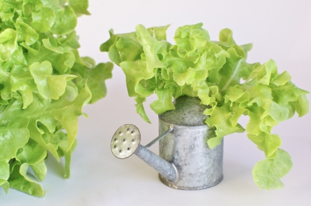 Green oak leaf lettuce with tin watering can isolated on white background Stock Photo - 17247143