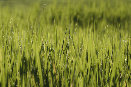 blurred vision: Closer green paddy field with dew in the morning