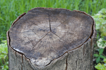 softwood: Wood logs in the forest