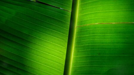 wither: Banana leaf droop, Southeast Asia plant concept and wither texture idea