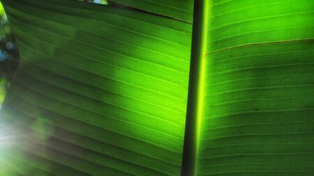 deteriorate: Banana leaf droop, Southeast Asia plant concept and wither texture idea