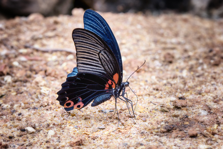 Closeup butterfly on the ground in nature at Kaeng Krachan Natural Park, Thailand