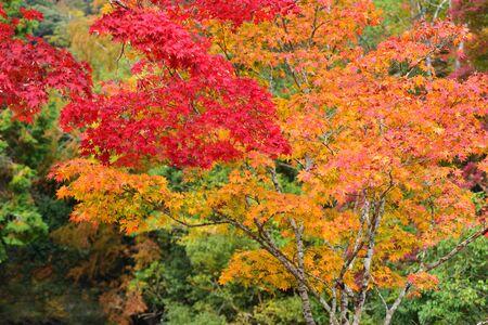 Fall colours at Minoo Park in Osaka, Japan Stock Photo