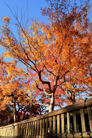 Beautiful japanese maple trees in autumn season in Koyasan town. Koyasan located in the Kansai region of Wakayama prefecture