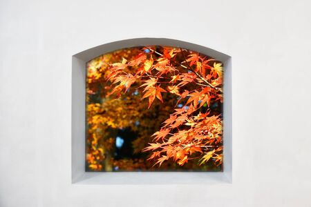 View from clear story window of maple leaves trees on white wall, natural background