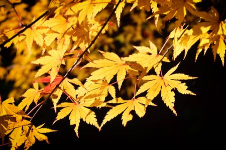 Close-up maple leaves in the forest on black background