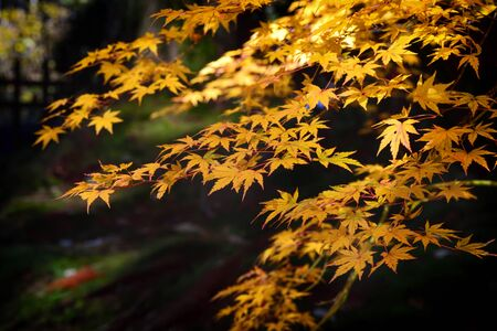 Yellow maple leaves in the forest on black background Фото со стока