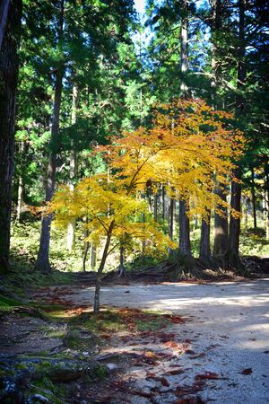 Beautiful yellow maple tree in forest in autumn season in Koyasan, Japan. Natural background concept