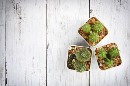 Flat lay of cactus and succulents plant on wooden white background. Indoor plant concept and natural background idea Фото со стока