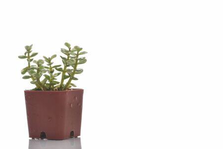 Close-up succulents plant with water drop on white background. Indoor plant concept and natural background idea