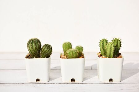Cactus and succulents plant on wooden white background. Indoor plant concept and natural background idea