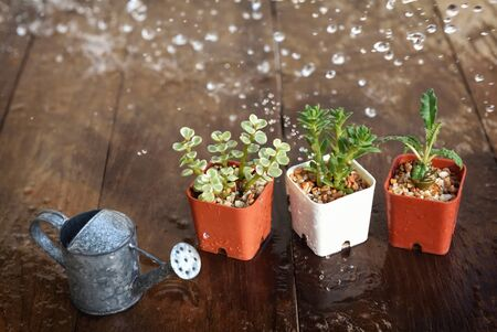 Rain drop on green succulents plant on wooden table. Indoor plant concept and natural background idea Фото со стока - 147310244