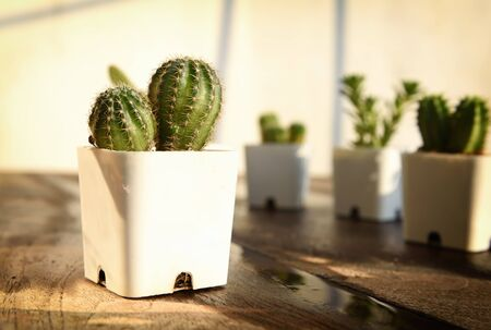 Cactus plant with sunlight on wooden table background. Indoor plant concept and natural background idea