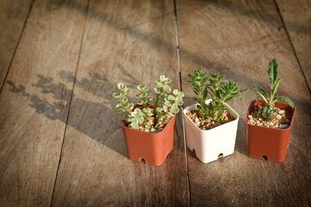 succulents plant with sunlight and shadow on wooden table background. Indoor plant concept and natural background idea